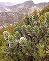 Mimetes arboreus Nick Helme 1.jpg