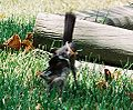 Mockingbird Feeding Chick005.jpg