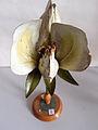 Modell der Blüte von Pisum sativum (Erbse) -Brendel Nr. 10-.jpg