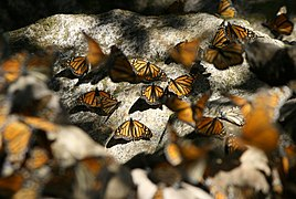 Monarchs resting on rocks.jpg