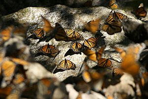 Montes Azules 300px-Monarchs_resting_on_rocks