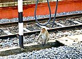 Monkey on railway Line in India..by Pastor Daniel - panoramio.jpg