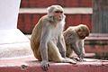 Monkeys relaxing at swayambhunath.jpg