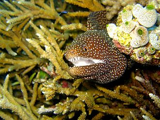 Moray eel - Moray eel in the Maldives