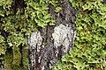 Moss on a tree in Glen Liath - geograph.org.uk - 661243.jpg