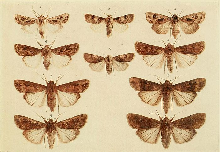 Moths of the British Isles Plate104.jpg