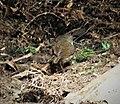 Mountain Mouse-Warbler. Crateroscelis robusta (2) (48754311113).jpg