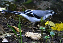 Mountain Wagtail.jpg