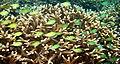 Moving life at coral-reef, Anilao, Batangas - panoramio.jpg
