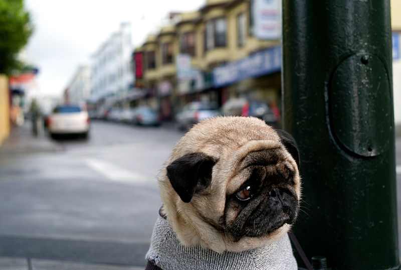 Mr Newman, the 'world's saddest dog' became an internet sensation after being photographed outside a San Francisco cafe. Credit: Christopher Michel [CC BY 2.0]