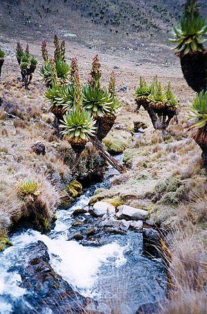 Dendrosenecio - Dendrosenecio keniodendron on Mount Kenya.