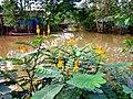 Muồng trâu ở Việt Nam.jpg