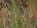 Muhlenbergia glomerata (3881409916).jpg