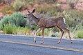 Mule Deer (8043741657).jpg