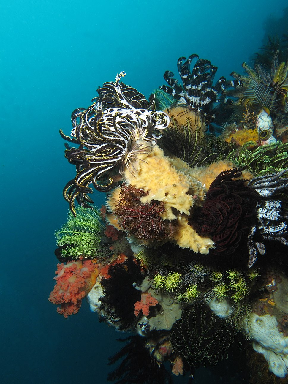 Multiple crinoids occupying the reef of Nusa Kode Island