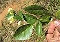 Murraya paniculata 10.JPG
