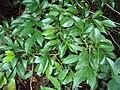 Murraya paniculata 15.JPG