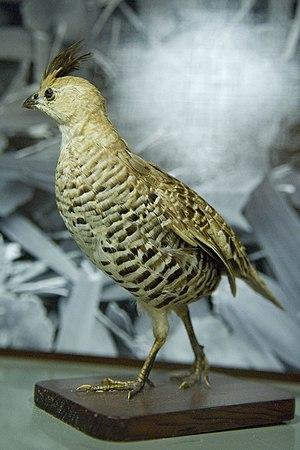 Banded quail - Image: Museo de la Naturaleza de Cantabria (70)