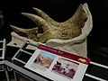 Museum Of The Rockies Montana5.jpg