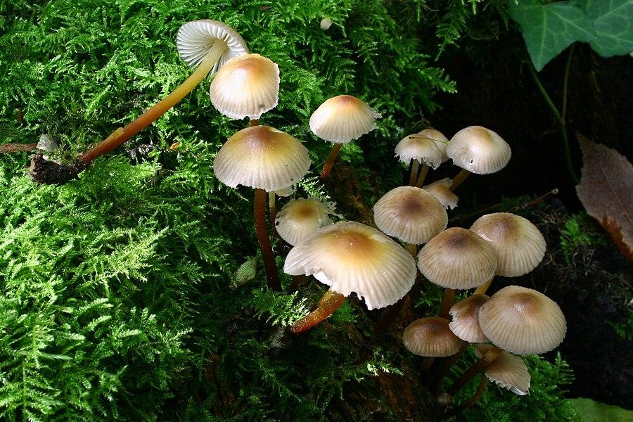 Mycena inclinata in a forest near Marly-le-Roi, France.
