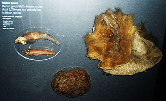 Mylodon - Toe nails, dung and skin, Natural History Museum, London