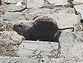 Myocastor coypus in Kolin 10.jpg