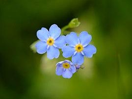 Des fleurs de myosotis des marais (Myosotis scorpioides). (définition réelle 4622×3467)