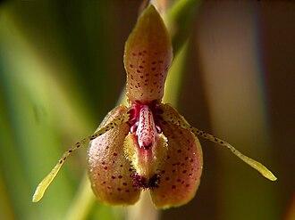 Myoxanthus lonchophyllus - Image: Myoxanthus lonchophyllus