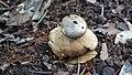 Myriostoma coliforme (Dicks.) Corda 605136.jpg
