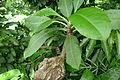 Myrmecodia platyrea.JPG