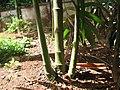 Mysore Areca Nut മൈസൂർ അടയ്ക്ക മരങ്ങൾ ഇതൾ പൊട്ടിയത്.JPG