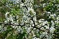 NSG Ithwiesen - Südlicher Teil bei Holzen - Blühender Schlehdorn (Prunus spinosa) (2).jpg