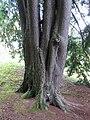 Nadelbaum Brückenau Tsuga canadensis.jpg