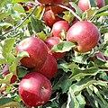 Naményi Jonathan apple.jpg