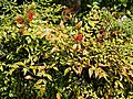 Nandina domestica, heavenly bamboo, at RHS Garden Hyde Hall, Essex, England.jpg
