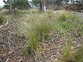 Nassella trichotoma plant5 (7185650895).jpg