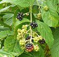 National colection of Rubus, Poznan, Dendrological Garden (Rubus henrici egonis) (3).JPG
