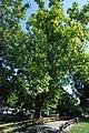 Naturdenkmal 564 GuentherZ 2010-08-25 0128 Wien01 Rathauspark Platane.JPG