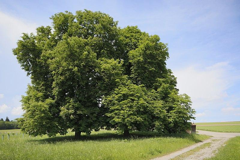 File:Naturdenkmal Drei Kastanien, Kennung 82350800004, Wildberg, von Südosten 02.jpg