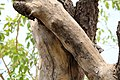 Nature of neem tree.jpg