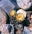 Navajoa peeblesiana fh 053 1 AZ B.jpg