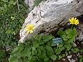 Naye-Alpengarten 04.JPG