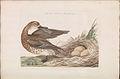 Nederlandsche vogelen (KB) - Anas querquedula (182b).jpg