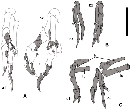 Diagrams showing the hands of specimen MPC-D 107/15 and 107/16 Nemegtomaia hands.png