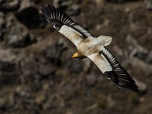 Egyptian vulture - N. p. percnopterus in flight (Israel).