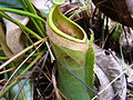 Nepenthes albomarginata without trichomes.jpg