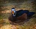 Nettapus auritus -Houston Zoo, Texas, USA -swimming-8a.jpg