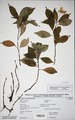 Neuchatel Herbarium Types NEU000113014.tif