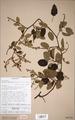 Neuchatel Herbarium Types NEU000113063.tif