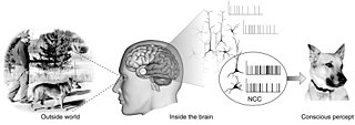 Neural correlates of consciousness Bodily components, such as electrical signals, correlating to consciousness and thinking